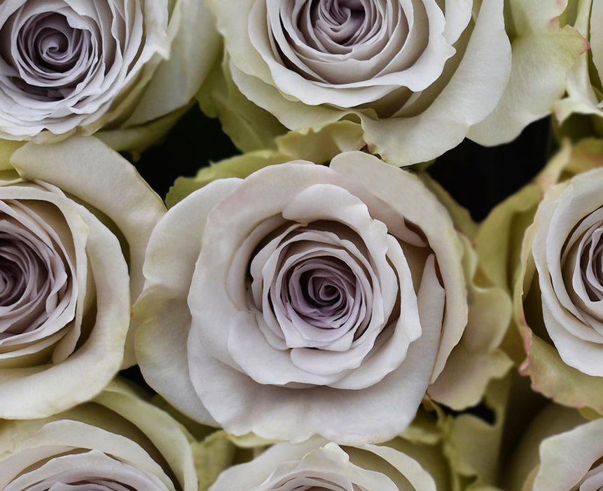 Early Grey Rose (50 STEMS)