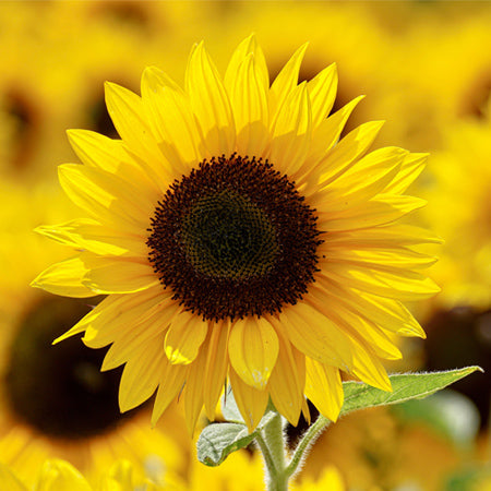 Sunflowers - Yellow Select (50 Stems)