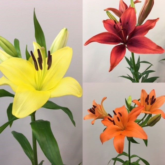 L.A. Hybrid Lilies - Variety Pack (60 Stems)