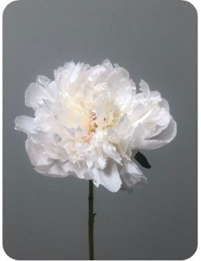 Next Day Ship - Percher Peonies (60 Stems) - $6.99 / STEM