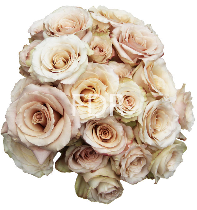 Next Day Ship - Quick Sand Rose (50 STEMS)