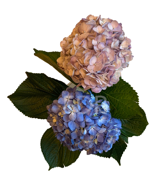 Hydrangea - Light Lavender (20 STEMS) / Shocking Blue (20 STEMS)