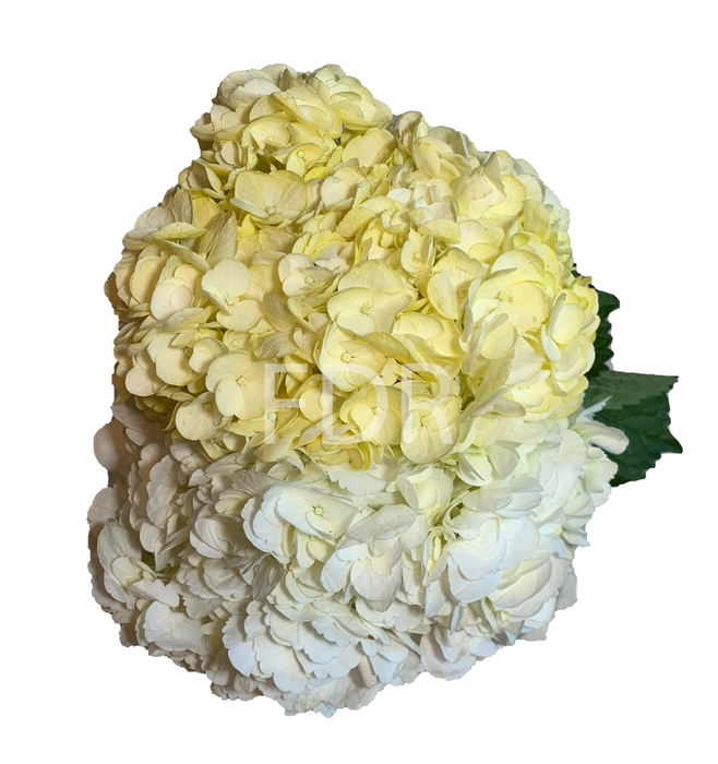 Hydrangea - Tinted Yellow (20 STEMS) / Select White (20 STEMS)