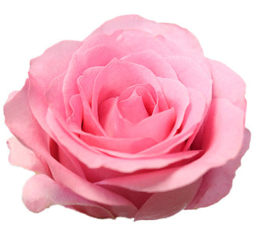 Blushing Akito Rose (100 Stems)