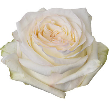 Next Day Ship -LONG STEM Candlelight Rose (100 STEMS)