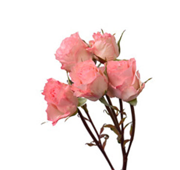 Constellation Spray Rose (100 Stems)
