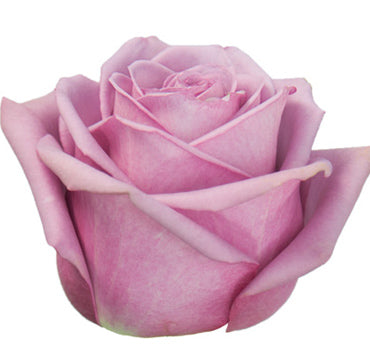 Next Day Ship - Cool Water Rose (100 STEMS)