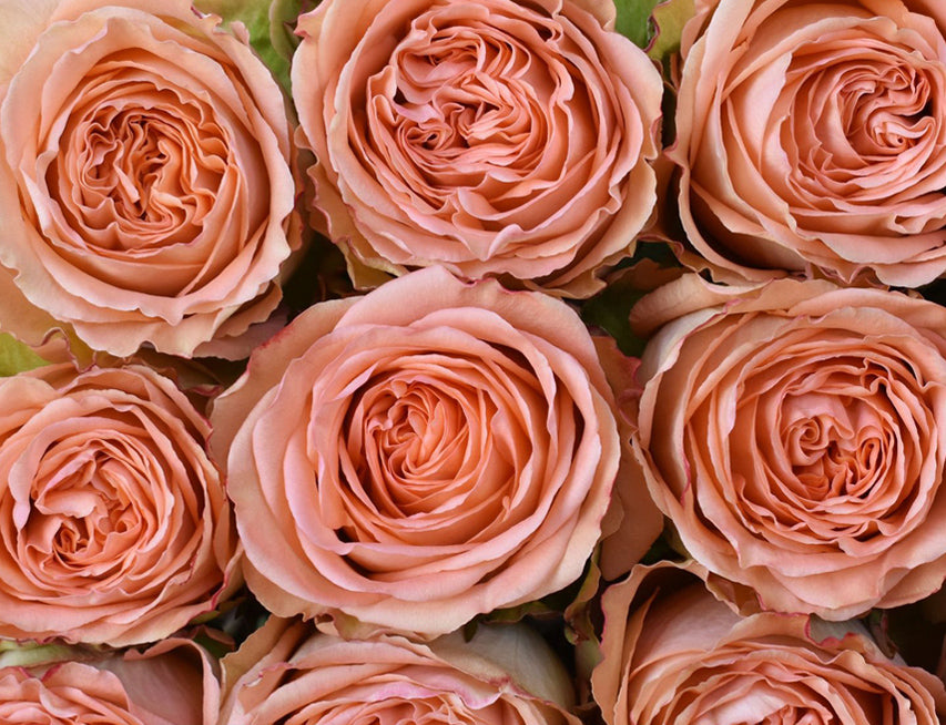 Next Day Ship - Country Home Rose (100 STEMS)