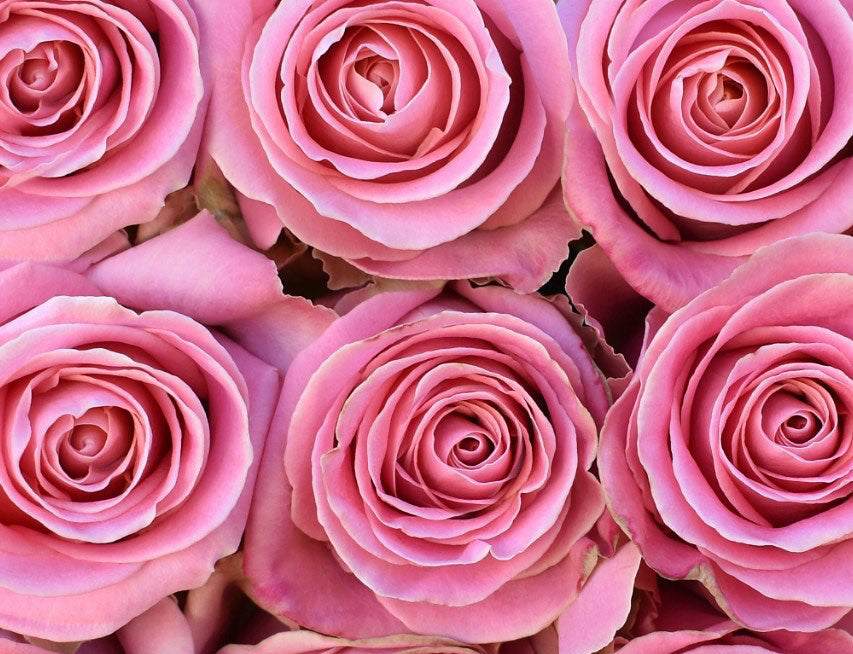 Next Day Ship - Hermosa Rose (100 STEMS)