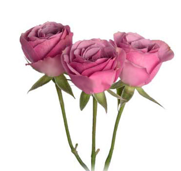 Next Day Ship - Lavender Irishka Spray Rose (100 STEMS)