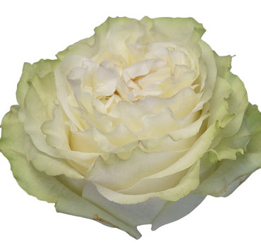 Next Day Ship - Moonstone Rose (100 STEMS)