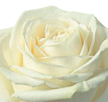 Next Day Ship - Playa Blanca Rose (100 STEMS)