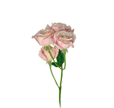 Next Day Ship - Sahara Sensation Spray Rose (100 STEMS)