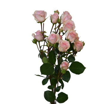 Light Pink Star Blush Spray Rose (100 Stems)