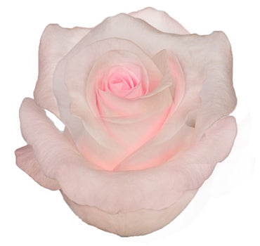 Sweet Akito Rose (100 Stems)