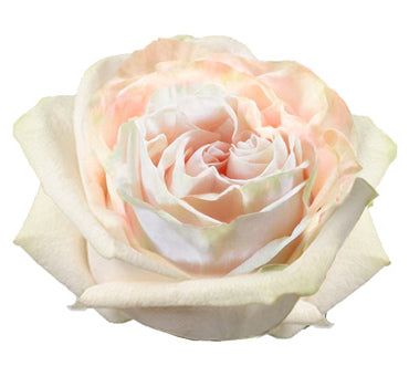 Next Day Ship - Wedding Spirit Rose (100 STEMS)