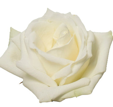 White Dove Rose (100 Stems)