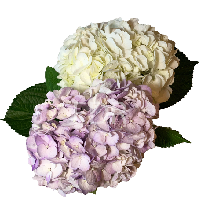 Hydrangea - Light Lavender (20 STEMS) / Tinted Yellow (20 STEMS)