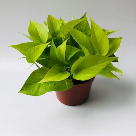Money Plant (small) - Greenspace
