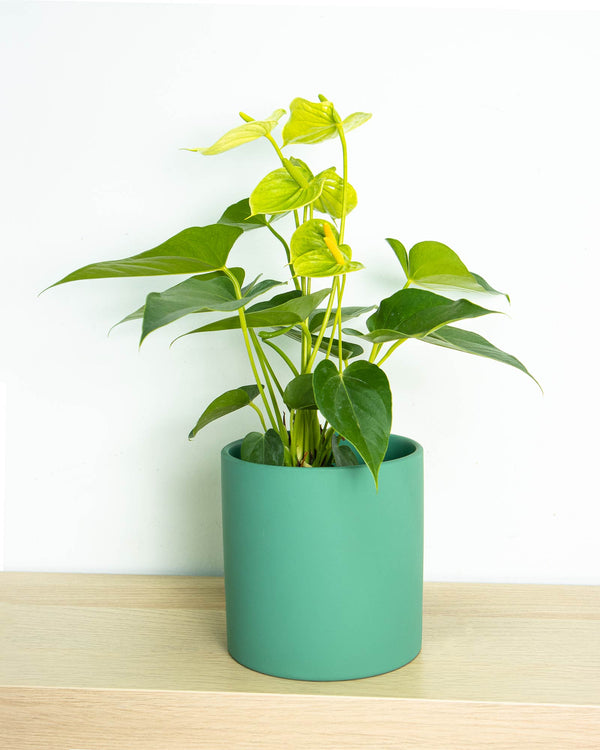 Anthurium (Green)