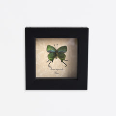 Framed Rare Metallic Blue-Green Swallowtail Butterfly Specimen