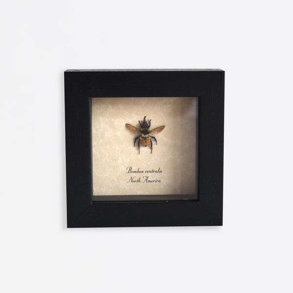 Framed Bumble Bee Specimen