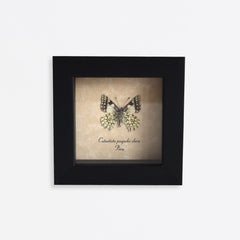 Framed Dartwhite Butterfly Specimen