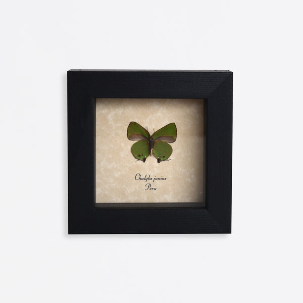 Framed Metallic Emerald-streak Butterfly Specimen