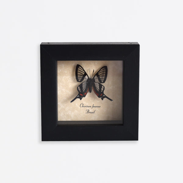Framed Glasswing Swallowtail Butterfly Specimen
