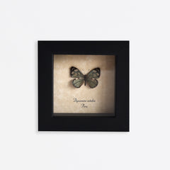 Framed Sage Green Butterfly Specimen