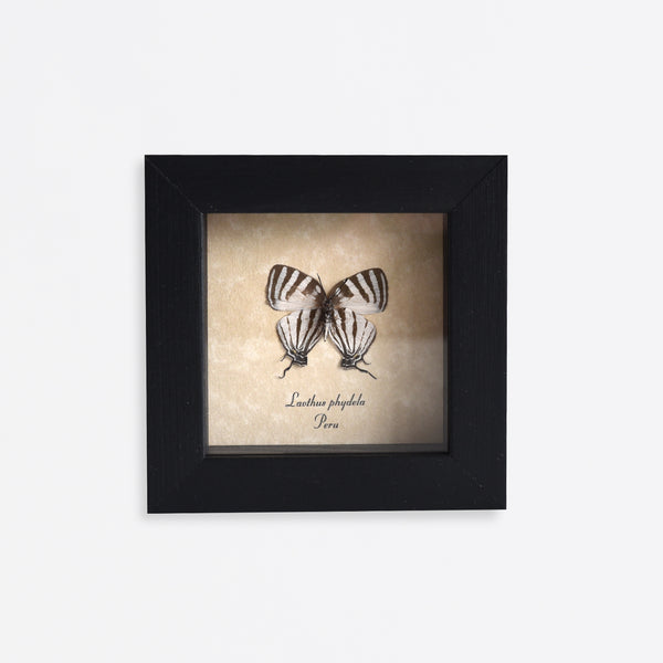 Framed Delicate Swallowtail Butterfly Specimen