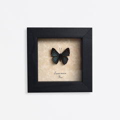 Framed Metallic Green-Blue Butterfly Specimen