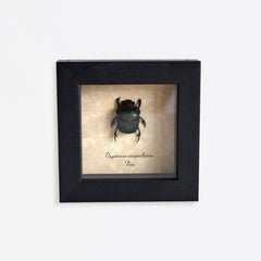 Framed Green Beetle Specimen