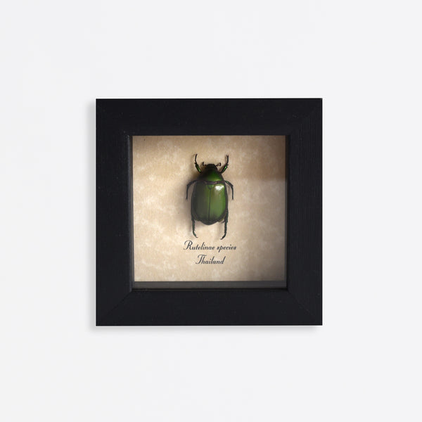 Framed Green Leaf Beetle Specimen