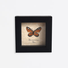 Framed Orange Tiger Stripe Butterfly Specimen