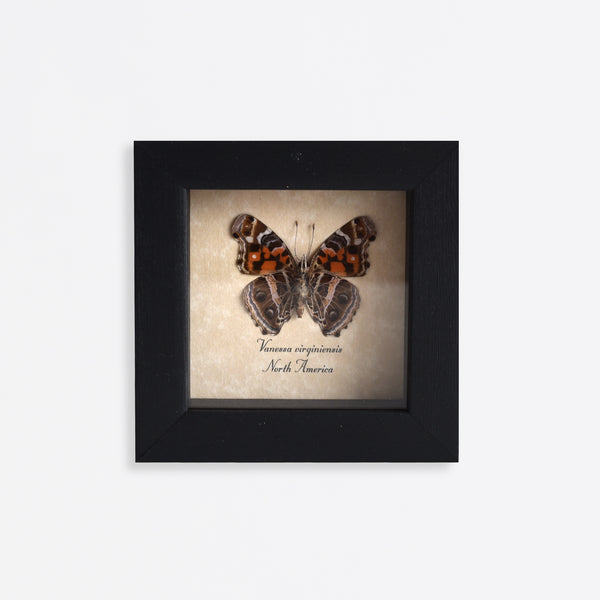 Framed American Painted Lady Butterfly Specimen