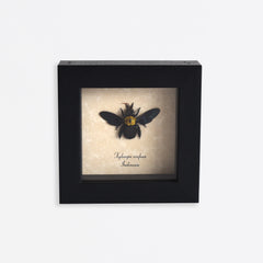Framed Black Carpenter Bee Specimen
