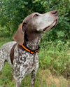 German shorthaired pointer wearing orange hawkins hunting collar