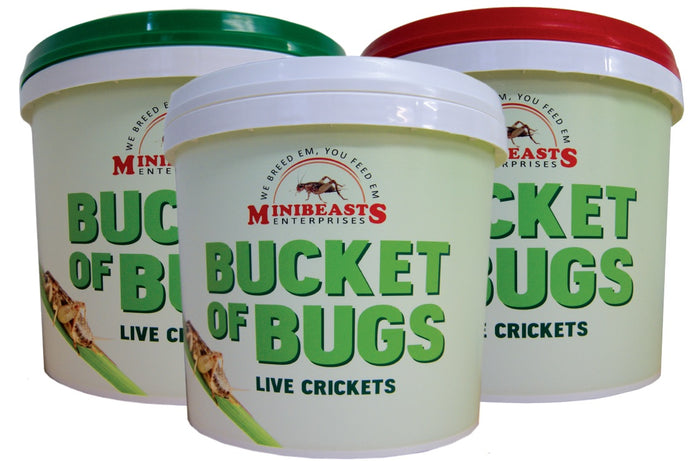 Minibeasts Bucket of Bugs - Crickets