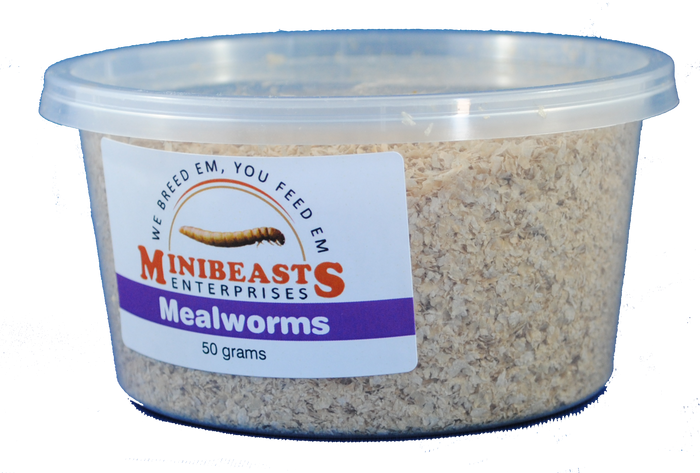 Minibeasts Mealworms