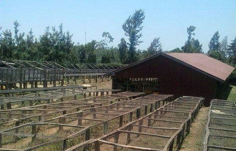 Drying beds at Kamwangi factory