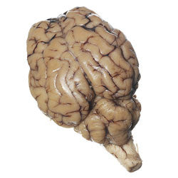 Brain, Sheep Organ, plain