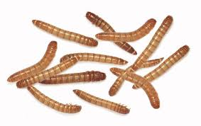 Live Mealworms (pack of approx. 100 pcs)