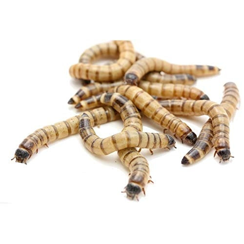 Live Superworms (pack of 20 pcs)