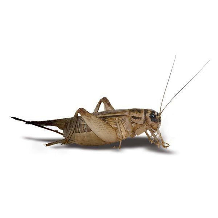 Feeder Crickets M/L (Pack of approx. 60pcs)