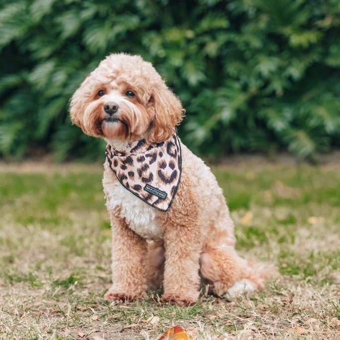 BIG & LITTLE DOGS - Luxurious Leopard Dog Bandana