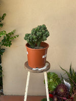Cactus 190mm pot