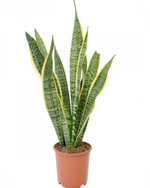 "Greenery Australia's Dracaena Trifasciata also know as ""The Snake Plant or Mother in Law's Tongue"". Pot sizes available, 190mm, 240mm, 300mm"
