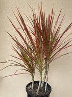 Dracena Tri Colorama 200mm