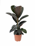 "Greenery Australia's Ficus Elastica Burgundy also know as ""The Rubber Plant"". Pot size 190mm, 240mm, 300mm and 400mm."